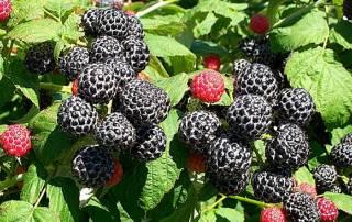 Black raspberries may be new superfood!