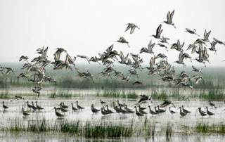 Over 161 species seen in Chilika Lake this season