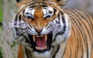 Camera trapping confirms no second Tiger in Nagaland village