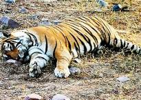 16 Tigers dead in Madhya Pradesh, says National Tiger Conservation Authority