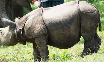 239 rhinos killed in 16 years in Assam: Govt reports
