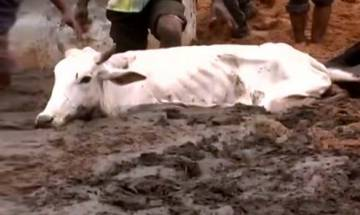 500 cows starve to death in Rajasthan cow shelter after workers go on strike