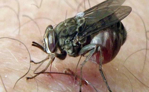 Skin can be a major contributor in spreading fatal sleeping sickness ( source: PTI)