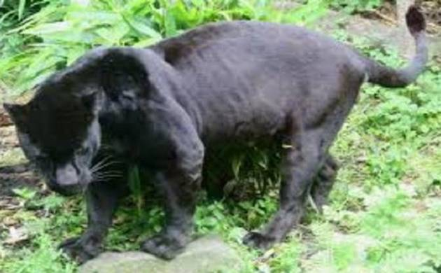 Panther cub rescued from Rajasthan university campus, after it  strays from Jhalana forest area