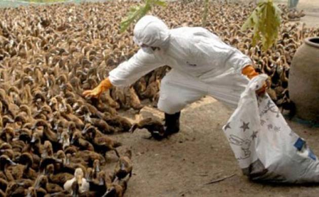 700 birds to be culled amid bird flu scare (source: KANNADIGA WORLD)