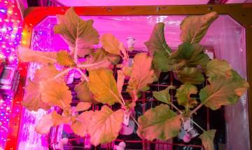 Astronaut Peggy Whitson aboard Space Station harvested cabbage: NASA
