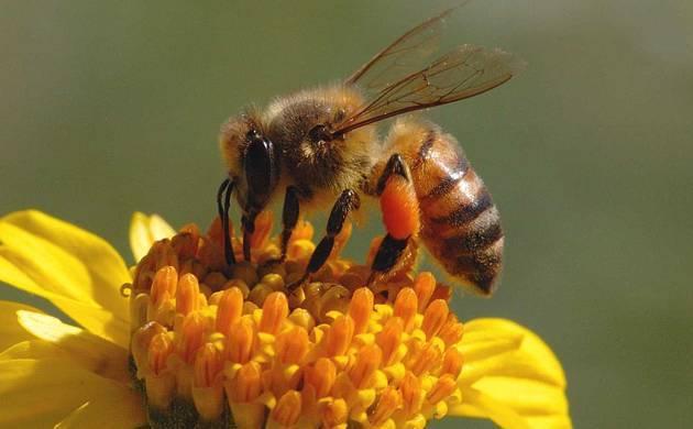 Honey bee (File photo)
