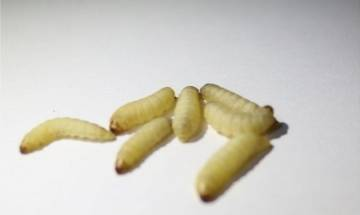 Scientists discover wax worms that feed on plastics, can help in eliminating environmental threats