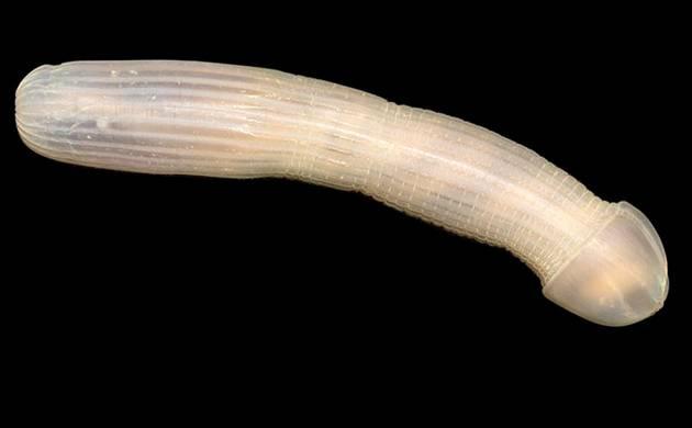 Bizarre peanut worm, faceless fish surprise scientists