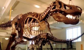 Tyrannosaurus Rex would have suffered a broken leg if ran at a fast pace