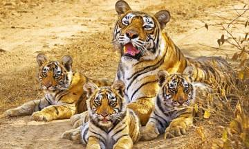 Machli's roar still echoes: Tribute to Lady of the Lakes, Queen of Ranthambore