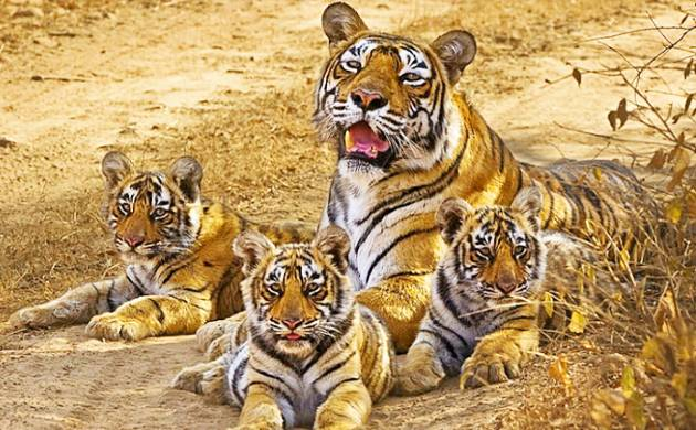 Machli is till date the most popular and the most photographed tigress as per the sources (Agency picture)