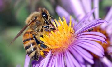 'Blue Halo' effect: Flowers create optical illusion to attract bumblebees, says study