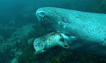 512-year-old Greenland shark measuring 18 feet in length discovered; is it world's oldest living vertebrate?