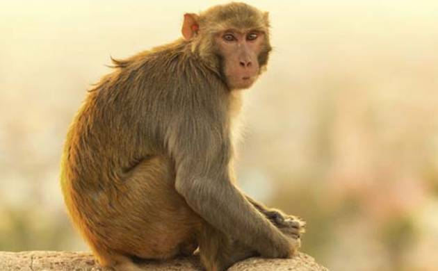 According to the police, Pawan Bangar (23) and his two minor friends caught a monkey which had entered Bangar's farm.