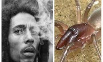 Spider 'Desis bobmarleyi' named on Bob Marley's song 'High Tide or Low Tide'