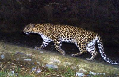 Gujarat: Leopard attacks motorcycle-borne couple, snatches infant