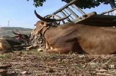 Main suspect arrested in cow slaughter case: Police