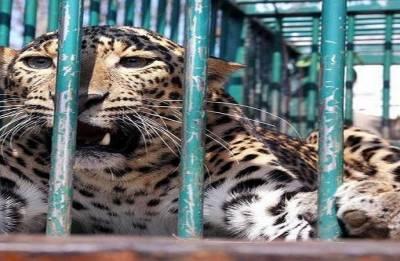 Karnataka: Leopard trapped in Udupi district