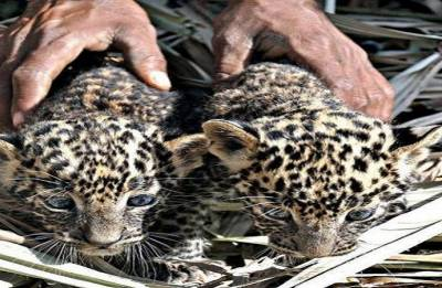 Maharashtra: Leopard cub enters home dozes off beside two children