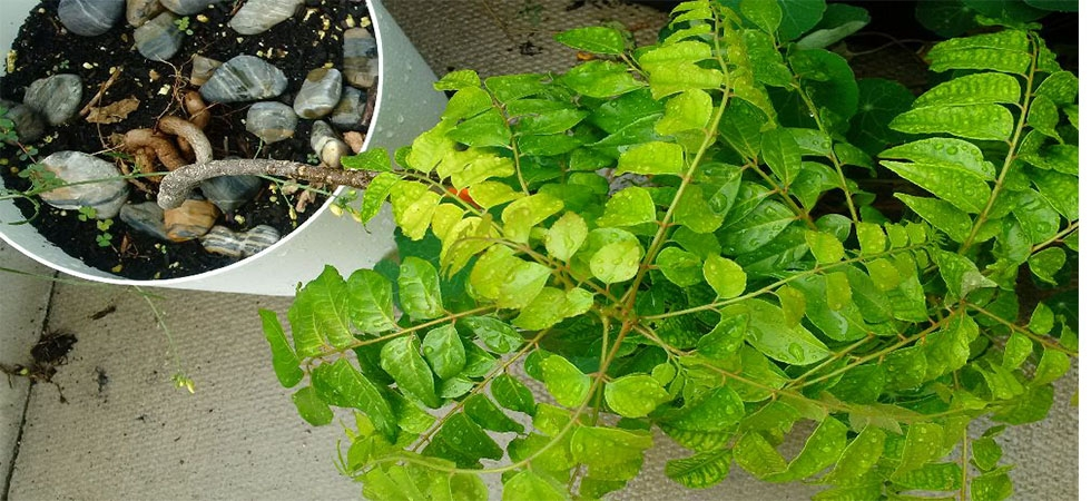 Curry Leaves Benefits: Use kadi patta for health and flawless skin (Photo:Twitter/@m_cahill)