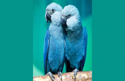 Trailing the little Blue Spix's Macaw in Avian extinctions