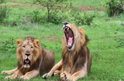 Mysterious deaths of 23 lions in Gir Sanctuary raises concern, SC probes the Centre