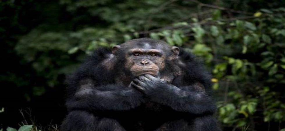 Chimpanzees can sniff out strangers from family members: Study