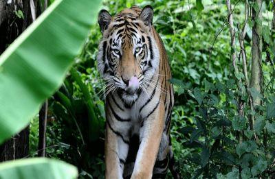 Tigress Avni shot dead in Maharashtra; man-eater beast claimed 14 lives in last two years