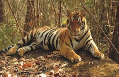 Tigress Avni shot dead in self-defence? Maharashtra CM Devendra Fadnavis orders probe