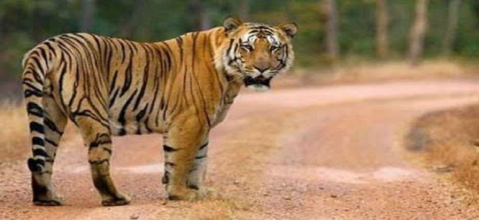 Maharashtra tigress Avni had not eaten for 4-5 days: Necropsy report (Photo- Twitter)