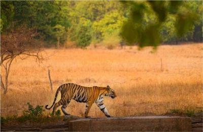 Maharashtra: Tigress chases tourist vehicle at Tadoba-Andhari Tiger Reserve, video goes viral