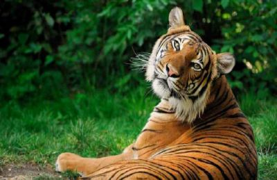 Odisha: Translocated tiger died of multiple organ failure, says post-mortem report