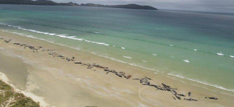 51 pilot whales die after mass stranding in New Zealand's Chatham Islands (Photo- Twitter)
