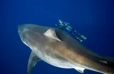 Divers in Hawaii discover what they believe is the 'biggest great white-shark' ever on record