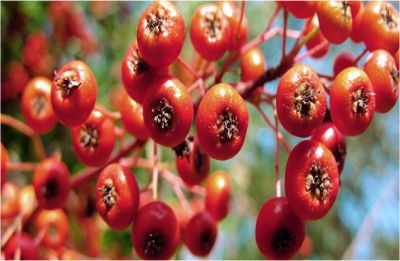 Here's how 'Christmas berry' plant compound may help fight eye cancer