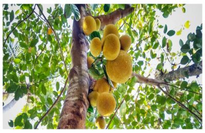 'Ugly, smelly, unharvested pest-plant': How British daily described jackfruit