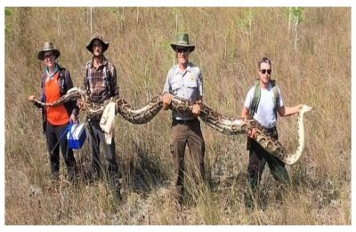 At 17 feet long, this is the biggest python ever captured by snake hunters