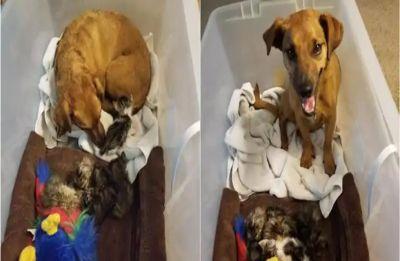 Heart-warming! Dog parenting 5 abandoned kittens melt hearts of Netizens