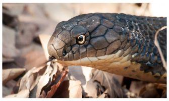 Unbelievable! Snake bites man but it dies, medical apathy 'kills' man