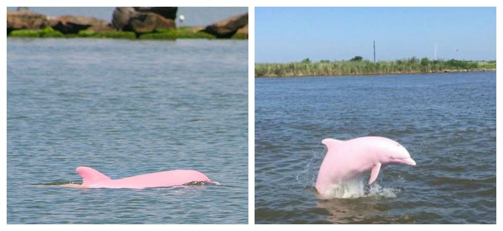Pink dolphin gives birth to pink calf (Photo: Facebook)