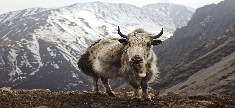 While carcasses of around 250 yaks were found in Mukuthang region, 50 yak carcasses were found in Yumthang recently. (Photo: Wikipedia)