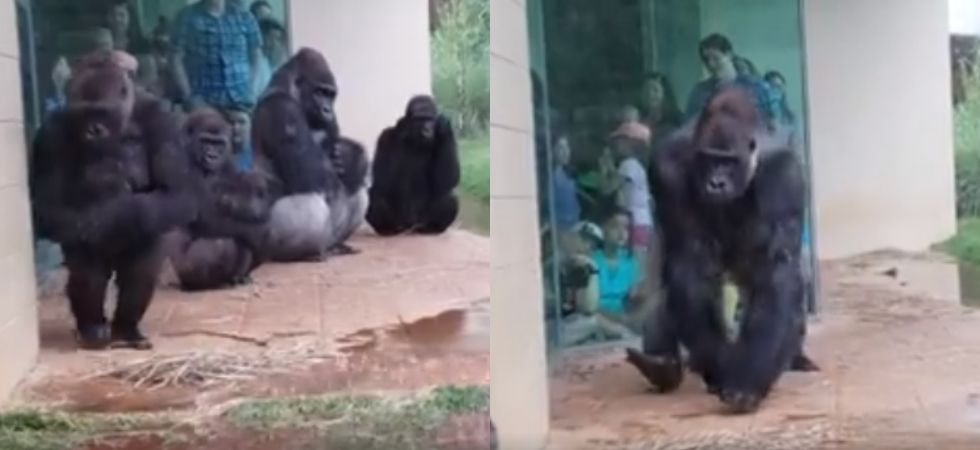 This hilarious video of gorillas trying to stay out of rain is going viral.