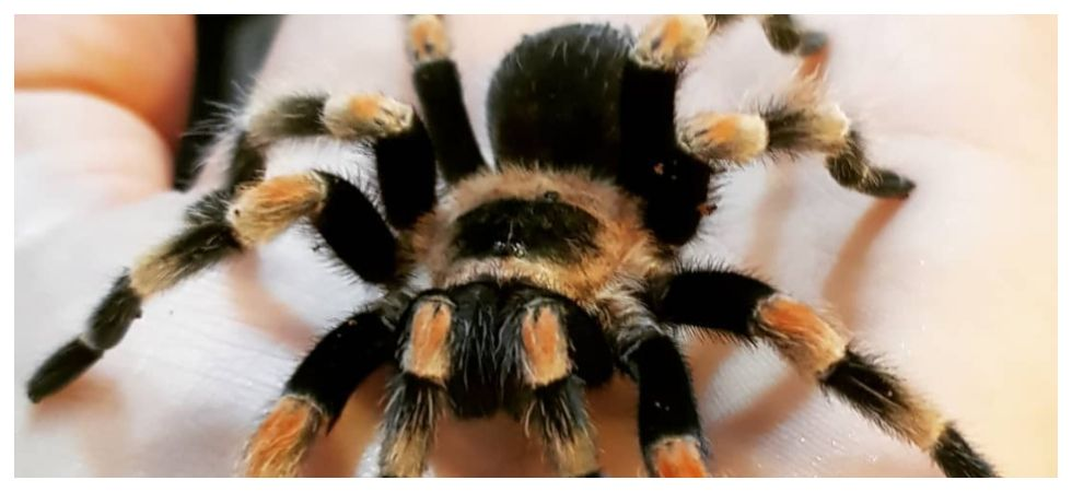 Man buys tarantula to stop 'nagging mother-in-law' from visiting (Photo: Instagram)