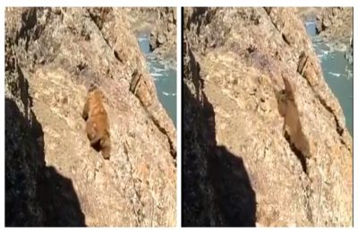 Heart-breaking! Bear falls off cliff after locals pelt it with stones in J&K, WATCH