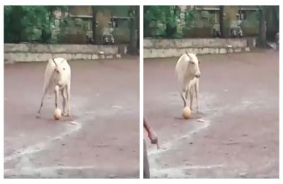 Seeing is believing! Cow plays football with group of boys in Goa, WATCH