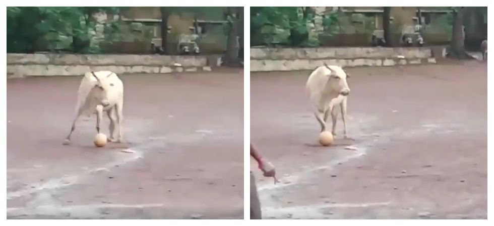 Cow plays football with group of boys in Goa (Photo: Facebook\Alison Morenas)