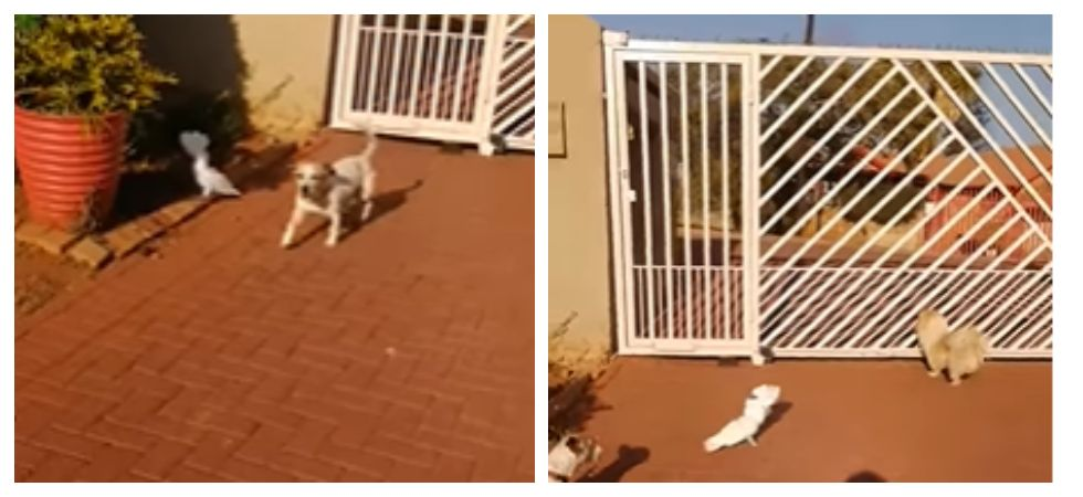Cuckatoo barks and keep watch of house with other dogs (Photo: YouTube)
