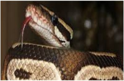 Do snakes love milk? Here's your ultimate guide to BUST cobras of myths