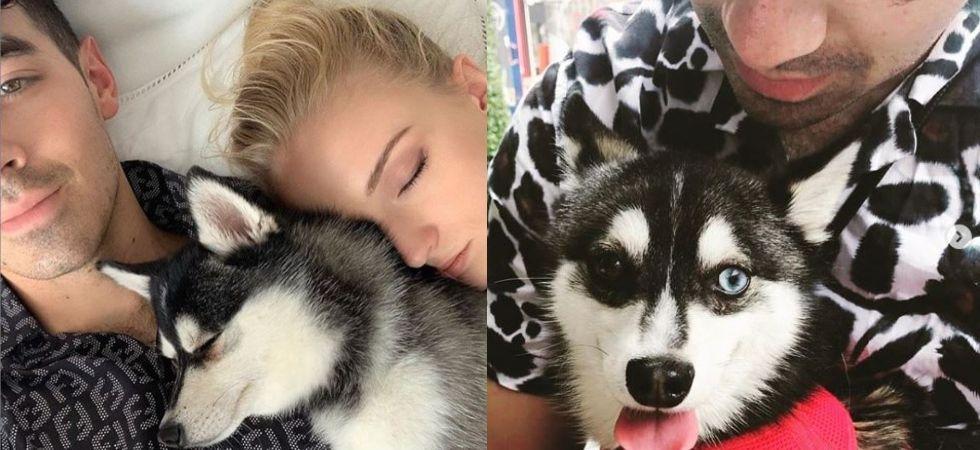 Sophie Turner and Joe Jonas' pet dog  killed in car accident